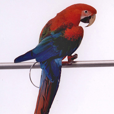 Macaw Paco