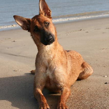 Belgischer Schäferhund Milla