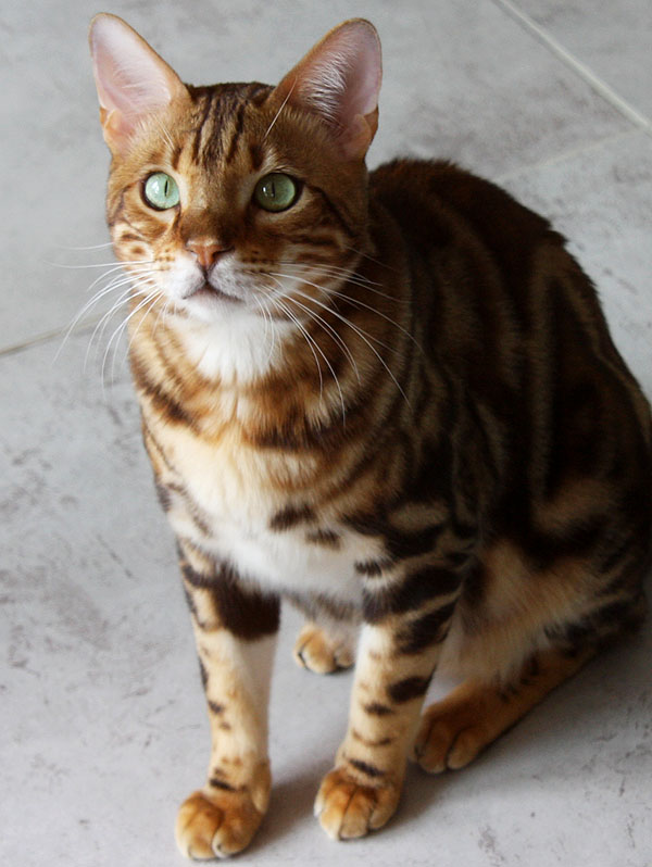 Bengalkater Ily