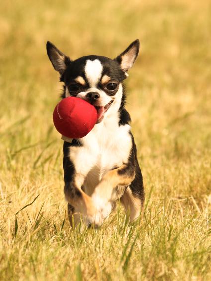 Chihuahua Django