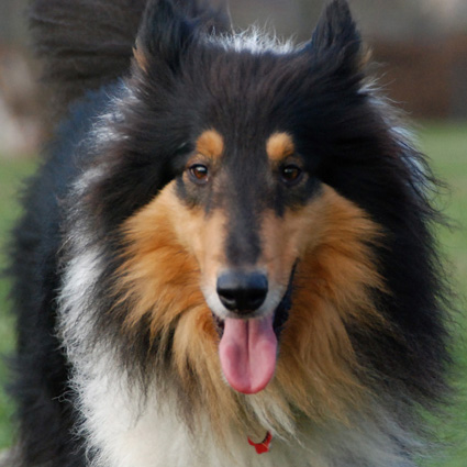 Collie Momo