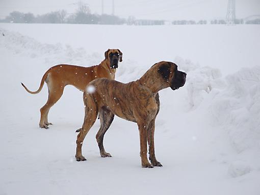 Deutsche Doggen Waylo und Zita