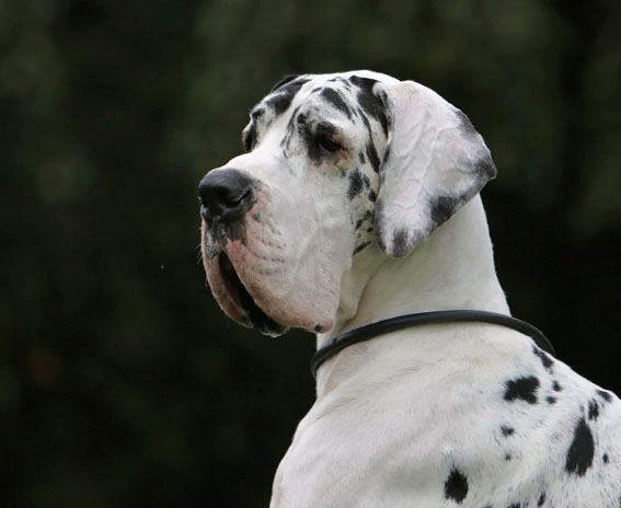 Deutsche Dogge Carlos
