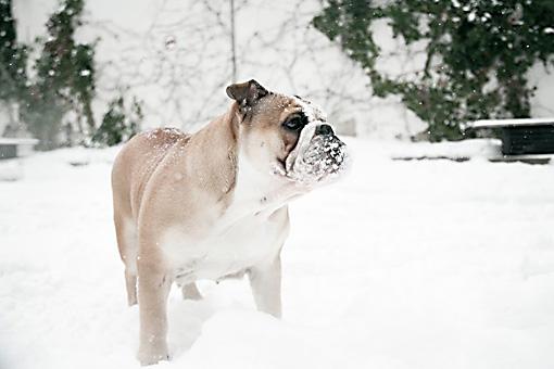 Englische Bulldogge Tiffy