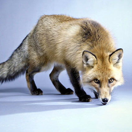 Fuchs Foxi
