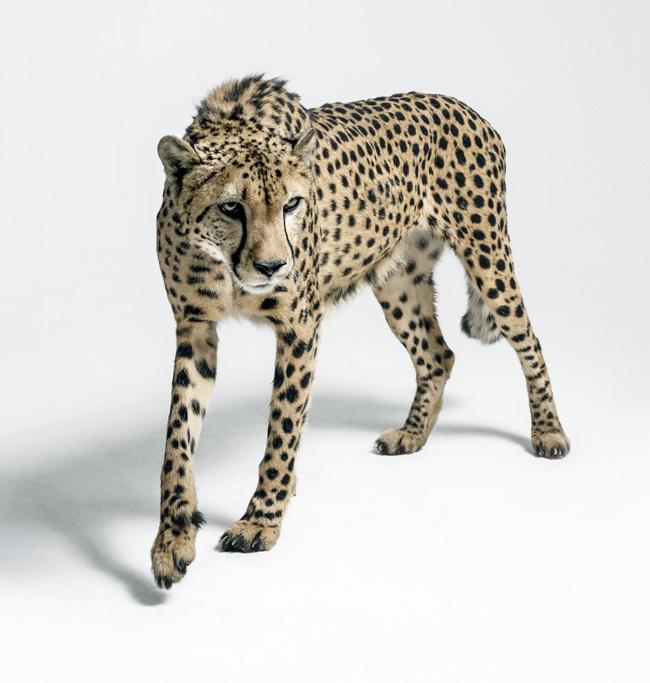 Gepard Arab