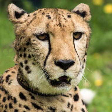 Gepard Somali