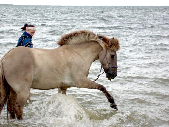 Islandpferd Máni