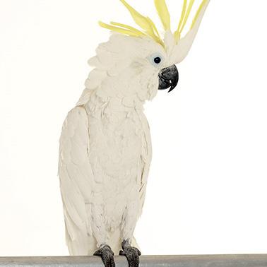 Kakadu Lui