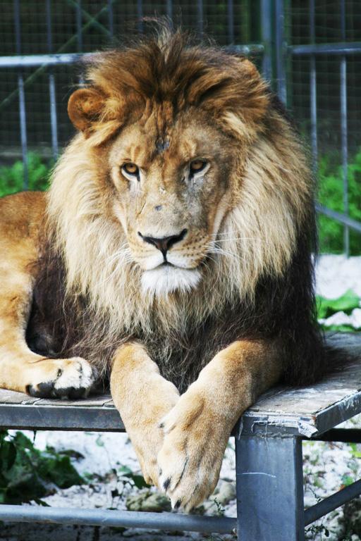 Löwe Zulu
