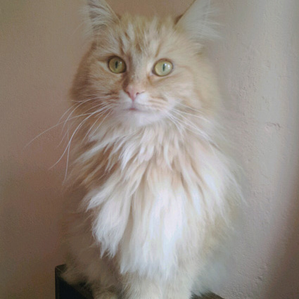 Maine Coon Ginger