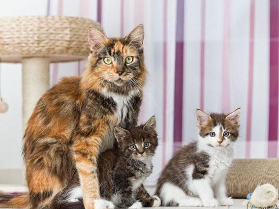 Maine Coon Toffi und ihre Kitten