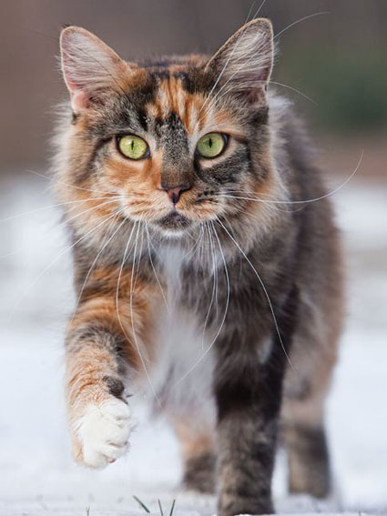 Maine Coon Toffi