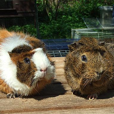 Meerschweinchen Mukki und Tom