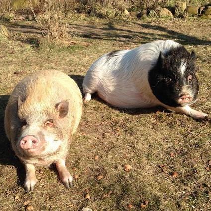 Minischweine Prof. Pong und Dr. Ping