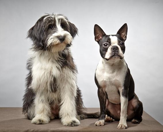 Mix Spatzi und Boston Terrier Spike