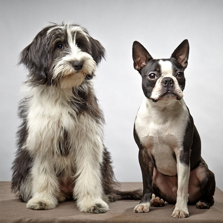 Mix Spatzi und Boston Terrier Spike