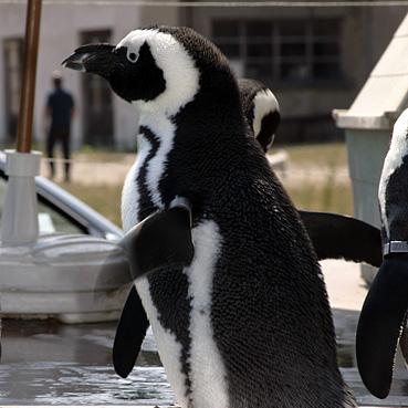 Humboldt Pinguin Waldis