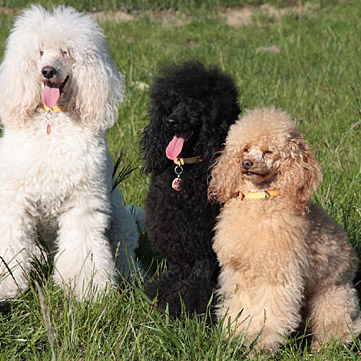 Group of poodles; Janosch, Kalle and Nina