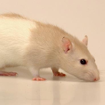 Ratte Molli