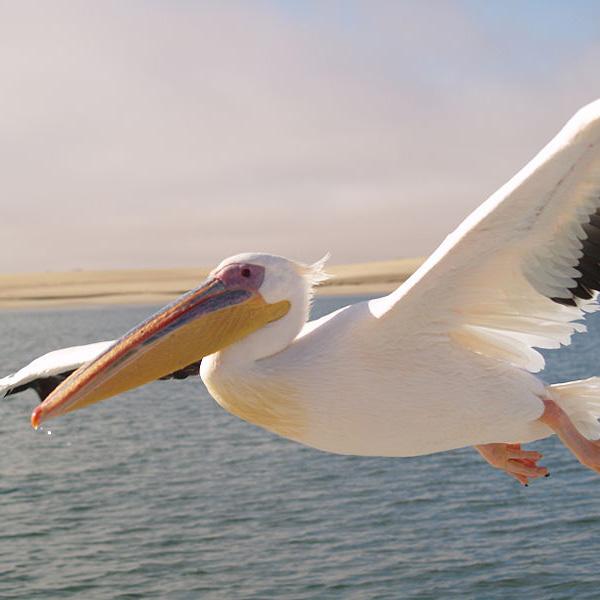 Pelikan Rosa