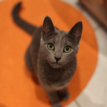 Russian Blue Amy