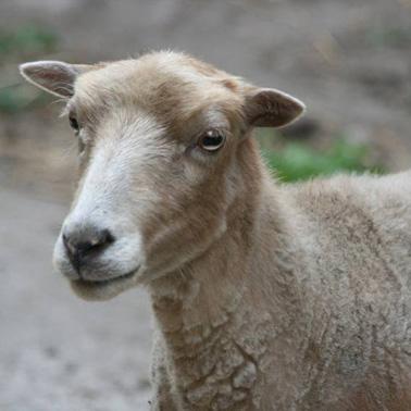 Schaf Lieschen