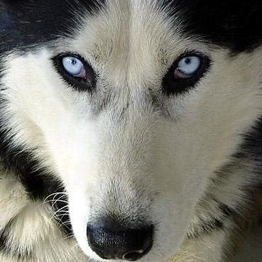 Siberian Husky Ice