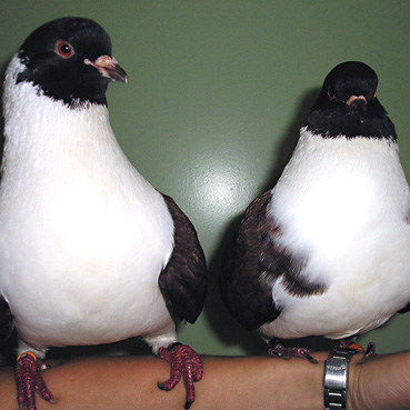 Tauben Lilli und Polly
