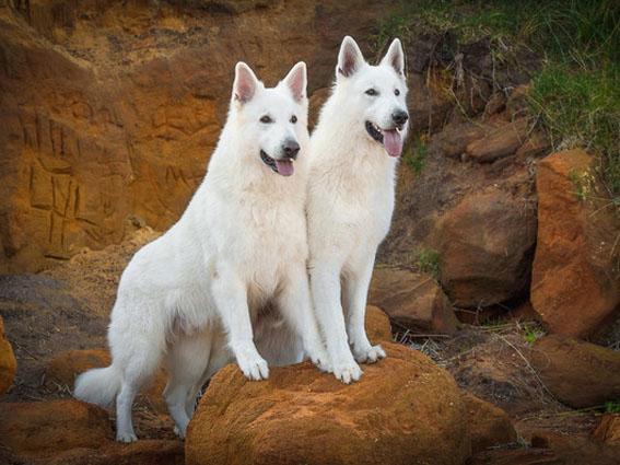 Weiße Schäferhunde Rico und Ben