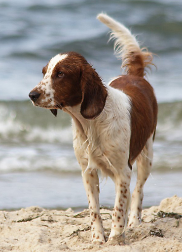 Welsh Springer Spaniel Amy