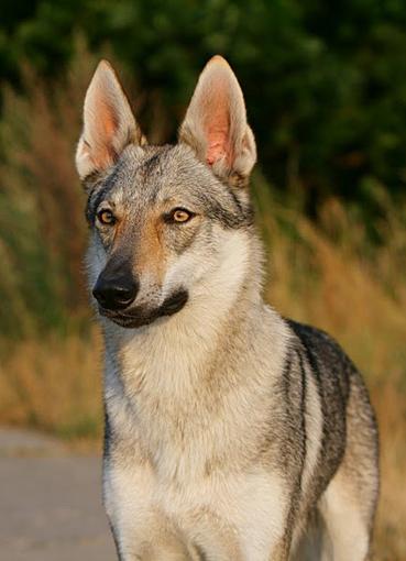 Wolf Shani