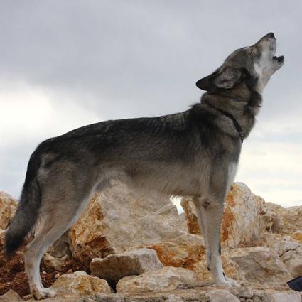 Wolfshund Lupo