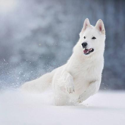 Weißer Schäferhund Merlin