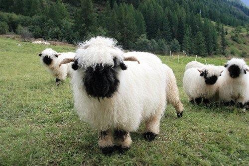 Walliser Schwarznasenschaf Ekkifant Agentur Für Tiere