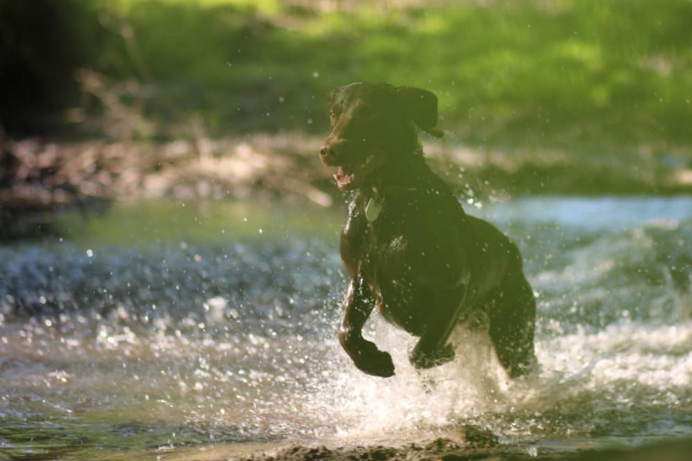 Labrador Mix Henry